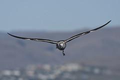 20120520_5385_1D3-400 Young Black-backed Gull (johnstewartnz) Tags: bif birdinflight apsh canon 100canon unlimitedphotos