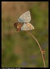 DSA_2471-10-05-2012-1 (r.zap) Tags: fiori zap idas farfalle lycaeides parcodelticino rzap robertozappaterra
