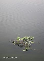 Planta acutica - Mxico DF (Polycarpio) Tags: planta mexico agua poly federal jm xochimilco gallardo distritofederal distrito acutica mexicophotos polycarpio fotosdemexico jmgallardo juanmanuelgallardo polygallardo juanmgallardo