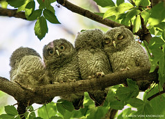 And you want me to sleep... (KvonK) Tags: wild four bush babies young may owl perched screechowl kvonk