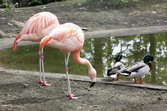 Double trouble (dididumm) Tags: pink red rot bird duck mallard ente anasplatyrhynchos vogel chileanflamingo colvert wildduck stockente phoenicopteruschilensis chileflamingo chilenischerflamingo ifiranthezoo märzente