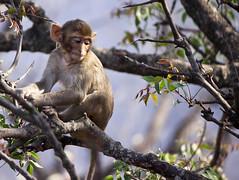 Thinking Baby (Sandeep Santra) Tags: wild baby india tree nature closeup monkey expression wildlife details andhrapradesh incredibleindia shikharam
