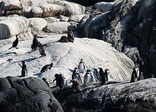 <p>Yes, you do not have to go to Antarctica to see penguins! These are Humboldt Penguins, one of the northernmost of all members of this family. </p>
