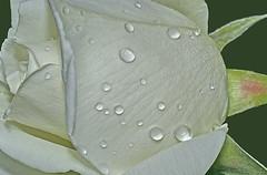 Do meu jardim para o vosso amigos do Flickr!...:) (Zéza Lemos) Tags: flores portugal water rose água canon natureza natur flor rosa jardim algarve capture rosas vilamoura pétalas zézalemos mygearandme