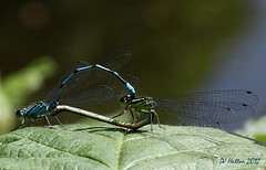 Making Love On a Nettle Top - Azure Damselflies (claylaner) Tags: macro insect hall cheshire bokeh abney odonata cheadle azuredamselfly coenagrionpuella canon60d sigma105lens
