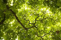 rbol fractal (Enri_queta) Tags: hojas nikon dijon rbol fractal rama d3000
