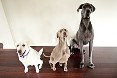 22/52 - She never ceases to amaze me! (bivoir) Tags: lucy chelsea labrador leo weimaraner bluegreatdane 52weeksfordogs