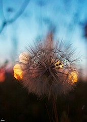 #153 Dandelion and Bokeh (flickranet) Tags: light sunset red sky urban sun france flower macro reflection rot colors beautiful yellow closeup night contrast canon reflections lights licht frankreich colorful sonnenuntergang dof nacht blossom bokeh dusk 28mm himmel dandelion handheld redsky toulouse f18 blume makro bunt abendrot abendstimmung reflektionen lwenzahn pusteblume butterblume sonnenlicht yabbadabbadoo blute 60d canonef28mmf18usm canon60d flickraward fruhling dammerung canonef28mm118 canoneos60d canonef28mm118usm tiefenscharfe dammern flickranet eierpusch