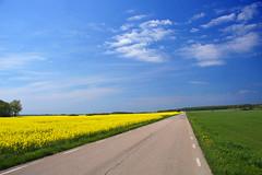 2012-05-20 (Gim) Tags: skne sweden schweden sverige raps suede canola scania helsingborg rapeseed colza scanie rapsflt champsdecolza hjlmshult