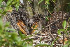 YelIow-crowned Night Heron Chicks. MG_4875 (looselens2009) Tags: usa nature birds katy tx chicks katytx canonef500mmf4lisusmlensx14ext backyardphotography6032012 yellowcrownednightheronjuvenilenyctanassaviolacea