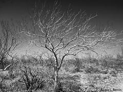 ALB 0086 (al_berron) Tags: bw tree mxico mexico arbol bn bajacaliforniasur lapaz lapazbajacaliforniasur alberron