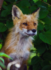 Fox (Arvo Poolar) Tags: female wildlife fox scarborough ourdoors redfox nikond7000 rosettamcclaingardenspark