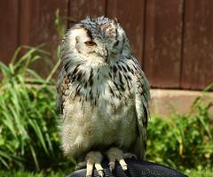 Sunbathing (Al JC) Tags: bird scotland fife owl