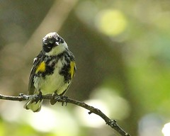 Yellow-rumped Warbler 1 (mbmcclintock) Tags: haystack