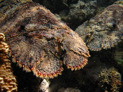 a pair of slippers (hawaiiansupaman) Tags: ocean hawaii underwater maui slipperlobster