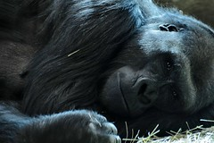 What does he think of me? (tammyjq41) Tags: columbuszoo gorilla great ape tjd specanimal