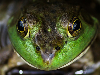 Up close and personal with a fearless frog -- photo by featured Flickr photographer Tom Fearney from the #Flickr10 Group.