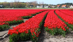 Tulips. Egmond. (elsa11) Tags: flowers flower spring tulips nederland thenetherlands bulbs lente bloemen tulipfield noordholland egmond tulpen bloem tulp bollenveld bulbfields bollenvelden bulbfiled