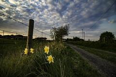 Daffodils at Dusk (ianandbarbara.bonnell@btinternet.com) Tags: flowers england floral w lancashire daffodils sthelens wigan merseyside billinge northwestengland