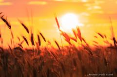 Saluto al sole (Antonio Ciriello) Tags: sunset italy sun nature canon italia tramonto colours ears natura sole tamron colori puglia taranto 70300 apulia spighe 600d 70300vc eos600d canoneos600d tamron70300vc rebelt3i 70300vcusd