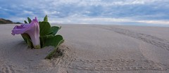 Covered up 2 (--Welby--) Tags: ocean sea flower beach coast sand purple dunes tracks crab australia cable western kimberley hermit broome