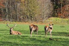 DSC_0351 (d90-fan) Tags: autumn animals tiere herbst hirsch braunbr brownbear geier waschbr wolfes luchs badmergentheim wlfe