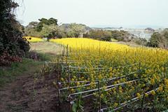 20160424-08 (GenJapan1986) Tags: sea flower film japan landscape island spring   miyagi   2016      nikonnewfm2   fujifilmfujicolorsuperiapremium400   hojima