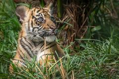 Focused Cub (helenehoffman) Tags: animal sumatra mammal cub tiger bigcat sumatrantiger carnivore felidae pantheratigrissumatrae specanimal conservationstatusendangered sandiegozoosafaripark coth5 sunrays5