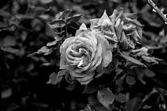 Edixa Xenar B&W Rose (Nikan Likan) Tags: paris flower field rose vintage lens 50mm prime blossom bokeh mount german m42 manual depth f28 own nicest schneider   xenar 2016 edixa i aesthetically kreuznarch