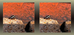 Chimneyhopper - Crosseye 3D (DarkOnus) Tags: macro male beautiful closeup bug insect stereogram 3d phone pennsylvania butt cell stereo thursday stereography buckscounty treehopper huawei camelus bbbt smilia mate8 beautifulbugbuttthursday hbbbt darkonus chimneyhopper