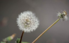 Macro Dandelion (Bogger3.) Tags: macro dandelion flowerhead makeawish coth canon600d canon18x135lens