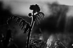 back light (AxelN) Tags: blackandwhite bw plant sunrise germany deutschland pflanze sw sonnenaufgang herrenberg badenwrttemberg schwarzweis silverefexpro2