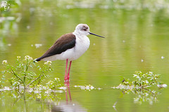 chasse blanche Himantopus himantopus - Black-winged Stilt (Nature & Wildlife Photographer) Tags: blanche stilt blackwinged himantopus chasse