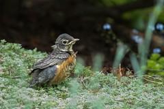 American Robin chick (laszlofromhalifax) Tags: bird chick americanrobin