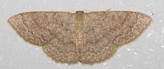 Drab Brown Wave (K. S. Veitch (millers/moths)) Tags: kentucky moth lobocletaossularia drabbrownwave kentuckymoth