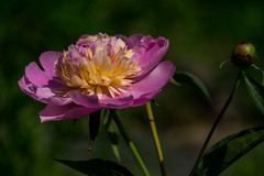 Peony (Mildred Alpern) Tags: flower yellow outdoors petals purple peony stems bud shaddows dustypink