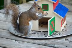 Yum,  this smells so good. (I'magrandma) Tags: squirrel peanut sq