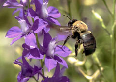 Bumblebee Loves Larkspur (Vidterry) Tags: bee bumblebee larkspur