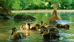 Momy is watching you (J. Handke) Tags: duck kindergarten ente entenbaby