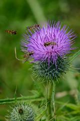 Distelblte mit Schwebfliegen (G_Albrecht) Tags: insect pflanze landschaft insekt tier distel umwelt fliegen schwebfliege hainschwebfliege korbbltler bluetenpflanze deckelschlpfer bluetengewaechs zweifluegler korbluetler