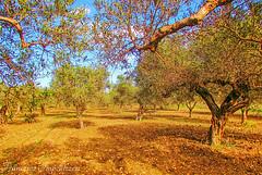 Olive Trees (Francesco Impellizzeri) Tags: trees landscape sicily trapani