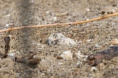 Single hatched egg of SNPL (Corvus707) Tags: ocean california beach birds northerncalifornia lumix sand nest snowy birding conservation panasonic eggs marincounty pointreyes norcal plover biologist shorebirds pointreyesnationalseashore 2016 pore snowyplover birdphotography birdnerd