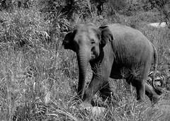 Elephants at Minneriya (Richard Whitaker) Tags: elephant monochrome forest nationalpark wildlife trunk srilanka habitat minneriya