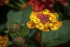 hbw! (Rainer Fritz) Tags: flower natur lantana hbw wandelrschen