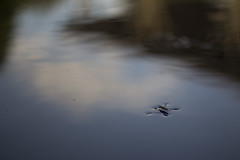 The Journey (billy_undercover) Tags: reflections tension water ratio field waterstrider surfacetension depthoffield