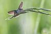 Fantomette (photosenvrac) Tags: macro bokeh papillon insecte sigma150 natura2000 thierryduchamp