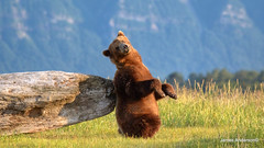 itchy back... (820-Photography by James Anderson) Tags: alaska brownbear grizzlybear alaskanbrownbear katmainationalpark