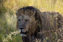 Lion - King Of His Territory (Barbara Evans 7) Tags: game male lion reserve barbara moremi xakanaxa evans7
