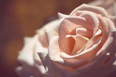 Rose (KIR1984 photos) Tags: 2016 public   rose flower