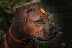 Soo young, with such a proudness .. (lichtspur) Tags: dog macro home nature animal closeup puppy dof close view spirit class sharp hund elite ridgeback capture nahaufnahme rhodesian highquality proudness inspiredbylove photographen